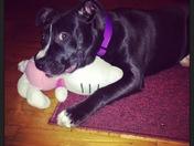 Pitbull pup :) from Dobson NC