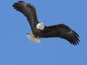 Bald Eagle adult