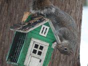 Determined squirrel on suet holder