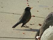 First robin of the season