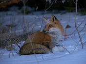 Red Sunset Fox