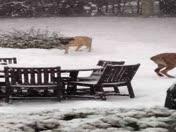 my mastiffs love the snow!!