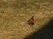 first robin spotted today in west york