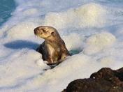 Sea Otter, Fanshell Beach, 17 Mile Drive