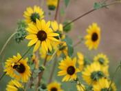 sunflower, butterfly, church, field of flowers
