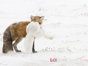 Fox eat fox