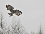 Great Gray In Flight