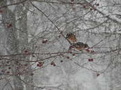 Robins in a snowstorm