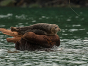 Knight Inlet Seal Chillin`
