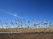 Beautiful White Snow Cranes