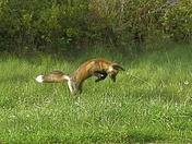 Red Fox Hunting
