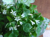 Birthday Shamrock Plant