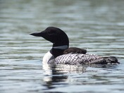 Loon with baby on back
