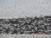 Snow swans and Tundra geese at Middle Creek Wildlife  Management