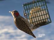 Red Head Woodpecker on Suet