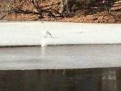 Confused swan.....