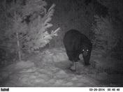 Bear in townsend