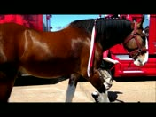 Anheuser-Bush Budweiser Clydesdales