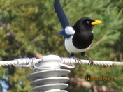 Magpie on wire