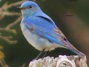 Natures Blue Oriole