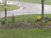 Snow on Tulips in Clinton, MO