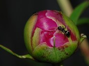 Ant Among The Roses