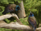 3e. Two Grackles