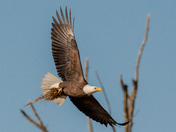 Eagle carrying nest supplies