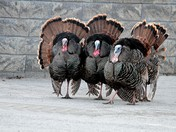 The Turkey Strut