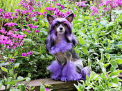 Chinese Crested Enjoys the colors of Spring
