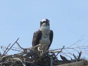 Hawk in La Grange
