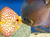 4b. Discus fish kissing