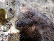 Elk Island Beavers