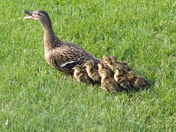 11 ducklings and mom