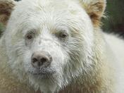 Spirit Bear Portriat