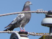 Pigeon on power pole