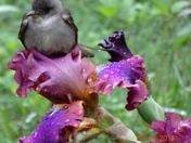 Bird of Iris