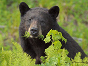Mouth Full, Black Bear