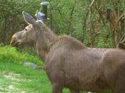 Visiting Moose