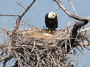 Eagle with eaglets