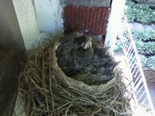 More of baby robins