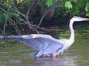 Blue Heron caught on fish line at Pinchot