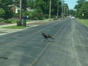 This lil lady has been crossing the road all over town.
