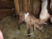 Our new Fainting Goat Kids