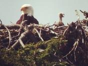 Newborn Eagle