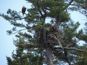 Bald Eagle nest on an island in Casco Bay