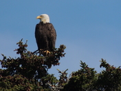Bald Eagle looking out over Casco Bay