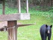 Bear in Bow 5/31/14