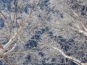 White on White Birches