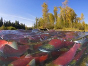 2a. Scarlet spawning